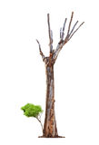 Oude boom op witte achtergrond Royalty-vrije Stock Afbeeldingen