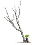 Oude boom op witte achtergrond De dood van het concept en het levensheropleving Royalty-vrije Stock Foto