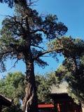 Oude boom in Peking, China royalty-vrije stock foto