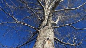 Oude boom tegen de hemel stock video