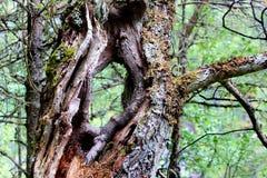 Oude boomboomstam met a door gat Royalty-vrije Stock Foto