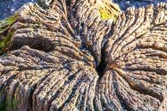 Oude boomstamtextuur Royalty-vrije Stock Foto
