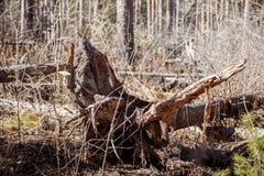 Oude boomstomp Stock Foto