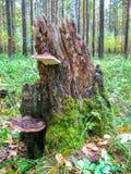 Oude boomstomp met paddestoelen en mos in het de zomerbos royalty-vrije stock afbeeldingen