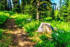Oude Boomstomp op Tod Mountain dichtbij het dorp van Zonpieken in BC Canada royalty-vrije stock afbeeldingen