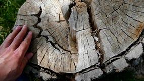Oude boomstompen en droge en rotte boomstomp, stock videobeelden