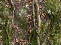 Oude boomwortels en oude boomstam met groen mos en rode bladeren royalty-vrije stock foto's
