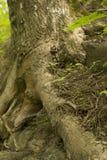 Oude boomwortels op grond Stock Afbeeldingen