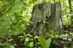 Oude bosboomstomp onder de lentegreens stock foto's