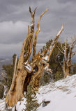 Oude Bristlecone-Bomen Stock Afbeelding