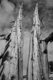 Oude Bristlecone-Boom Stock Foto's