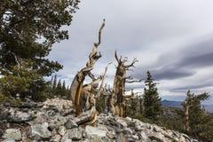 Oude Bristlecone-Pijnbomen in Groot Bassin Nationaal Park royalty-vrije stock foto's