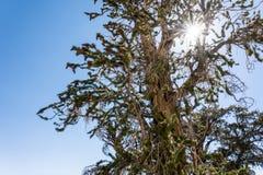 Oude Bristlecone-Pijnboomboom - met zonnestraal op zonnige dag stock afbeelding