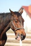 Oude bruine paard geeuw Royalty-vrije Stock Afbeelding