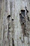 Oude Californische sequoiaboom Stock Foto's
