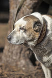 Oude Centrale Aziatische Herder Dog Royalty-vrije Stock Fotografie