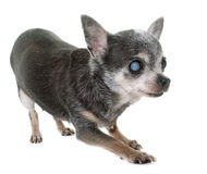 Oude chihuahua met cataract royalty-vrije stock foto's