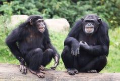 Oude chimpansees Royalty-vrije Stock Foto's
