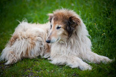 Oude colliehond stock foto