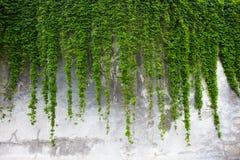 Oude concrete die muur met de groene klimop wordt behandeld Stock Afbeelding