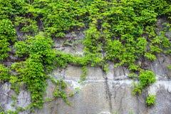 Oude concrete die muur met de groene klimop wordt behandeld Royalty-vrije Stock Afbeeldingen