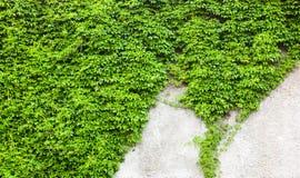 Oude concrete die muur met de groene klimop wordt behandeld Stock Afbeeldingen