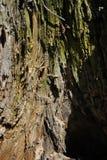 Oude de boomstamtextuur van de barsten bouwvallige boom, onscherpe bruine, groene achtergrond, verticale dichte omhooggaand stock afbeeldingen