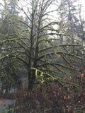 Oude de winterwildernis van het boommos Stock Foto's
