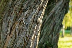Oude dichte omhooggaand van de wilgboomstam Stock Foto