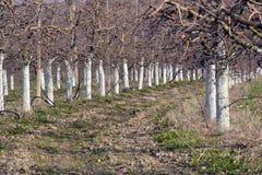 Oude die appelboomgaard met bomen met fungicide met een laag worden bedekt stock foto