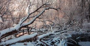 Oude die bomen in de rivier worden omvergeworpen Royalty-vrije Stock Afbeeldingen