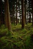 Oude die bomen in een bos met de vloer met mos wordt behandeld stock afbeeldingen