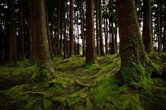 Oude die bomen in een bos met de vloer met mos wordt behandeld stock foto's