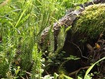 Oude die boom in het bos met mos wordt overwoekerd stock afbeeldingen