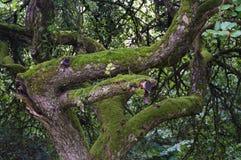 Oude die boom met mos en maretak het album van Viscum wordt behandeld royalty-vrije stock fotografie