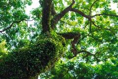 Oude die boom met mos wordt overwoekerd Stock Foto