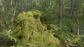 Oude die boomstomp met mos in het naald bos, mooie landschap wordt behandeld Stomp met mos in het bos royalty-vrije stock afbeeldingen