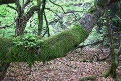 Oude die lodgepoletak van beukboom met mos wordt behandeld stock foto's