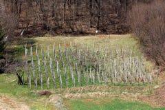Oude die wijngaard van veelvoudige houten polen aan kant van kleine die heuvel wordt gemaakt met ongesneden groen gras en dicht b stock fotografie