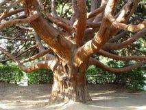 Oude dode bomen Royalty-vrije Stock Afbeelding