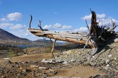 Oude dode boom. stock afbeeldingen