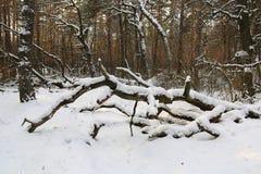 Oude dode boom in de winterbos royalty-vrije stock foto's