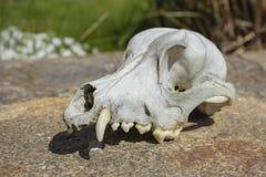 Oude doorstane witte hondschedel op steenvloer stock foto