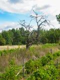 Oude droge appelboom in een wijngaard in de Loire stock fotografie