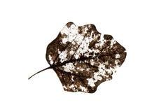 Oude droge geïsoleerde bladeren Royalty-vrije Stock Foto's
