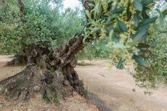 Oude duizend-jaar-oude olijfboom Stock Afbeelding