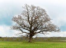Oude eenzame boom Stock Afbeeldingen