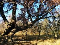Oude eik in de de herfsttijd stock afbeelding