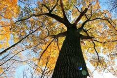 Oude Eik in de Herfst Stock Foto's