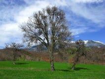 Oude eiken bomen Stock Afbeelding